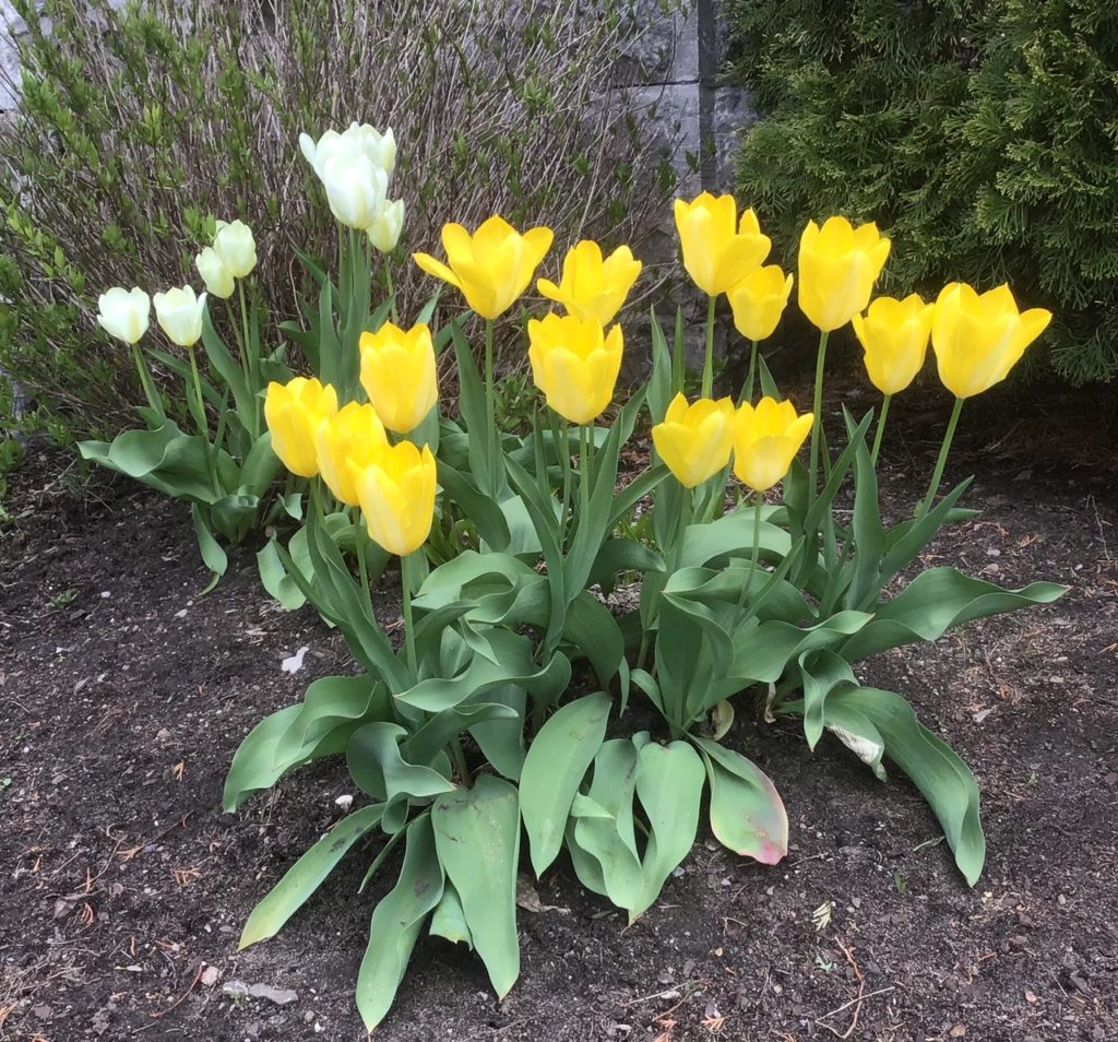 This image has an empty alt attribute; its file name is TulipsSpring2019-1024x954.jpg