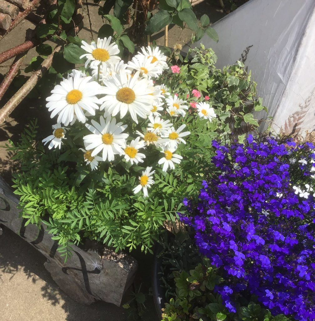 This image has an empty alt attribute; its file name is DaisiesEngland2019-1006x1024.jpg